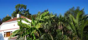 banana tree care for winter
