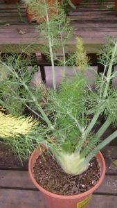 Dill: benefits and virtues