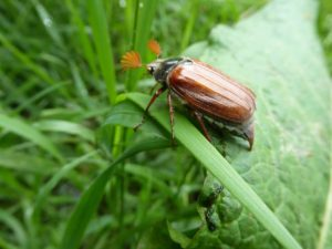 How to fight against the chafer?