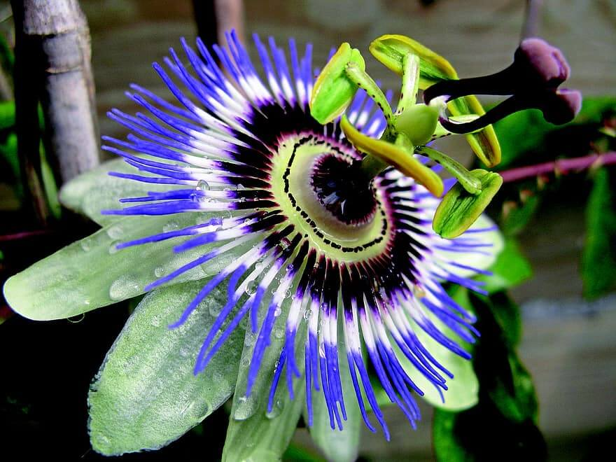 Passionflower: benefits and virtues