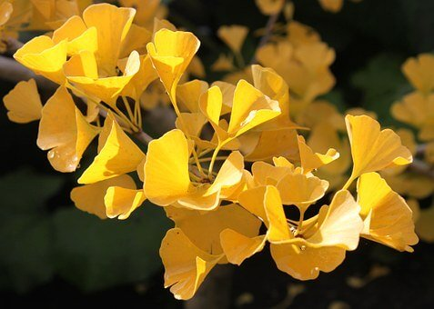 The Ginkgo tree: benefits and virtues