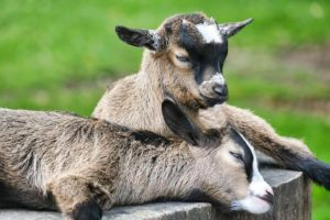 How to keep dwarf goats: tips and best practices