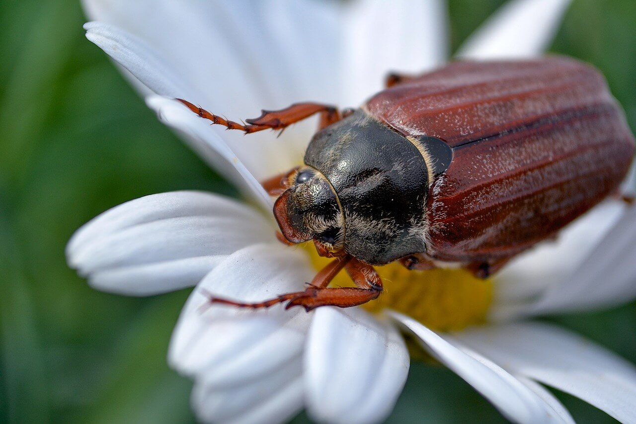 What is a cockchafer beetle?