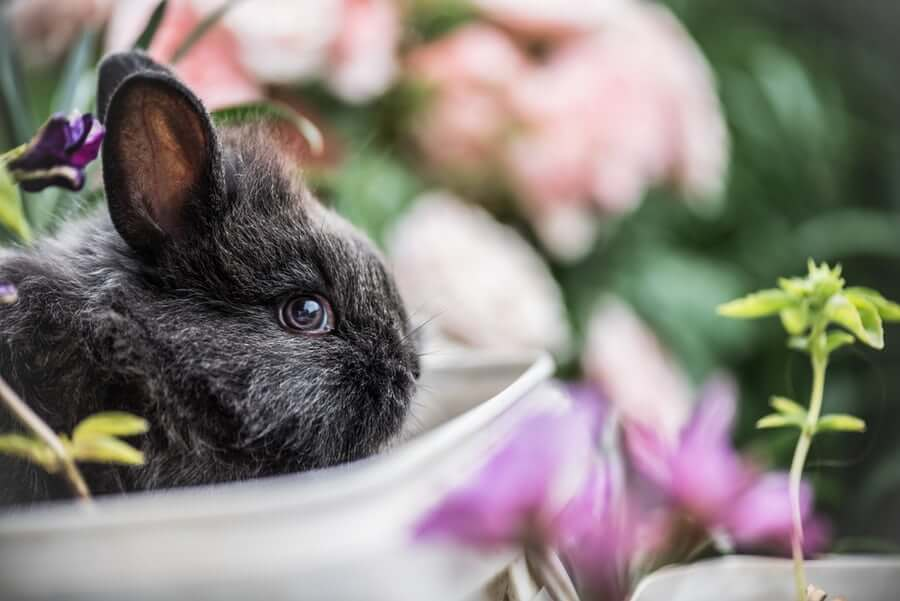Raising a dwarf rabbit at home: tips and best practices