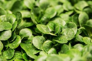 Watercress: appreciated for its leaves