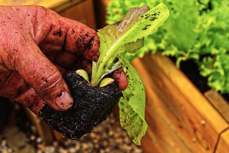 Romaine Lettuce Growing Tips